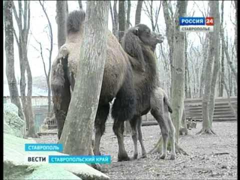 Верблюжонок СГТРК