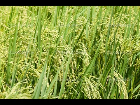 Lack-of-water-and-power-cut-leave-farmers-a-worried-lot-as-they-try-to-save-their-crops