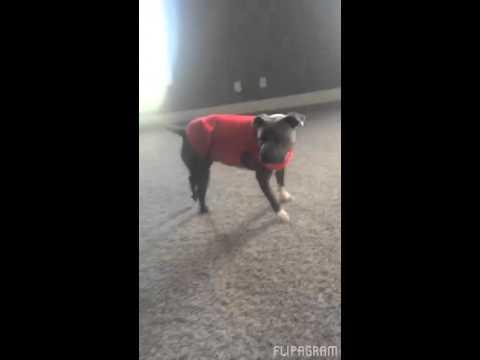 這隻超聰明狗狗看到妹妹很輕鬆得做出側手翻因此就想要學, 結果...