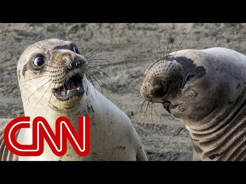 Is shocked seal the funniest wildlife photo of 2017? (видео)