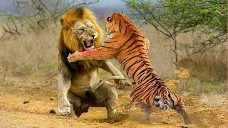 Video VERSUS. Лев против Тигра, кто сильнее? MP3, 3GP, MP4, WEBM, AVI, FLV Mei 2017