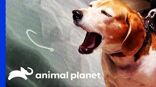 Vet Removes Fish Hook From Dog's Stomach! | Dr. Jeff: Rocky Mountain Vet by Animal Planet