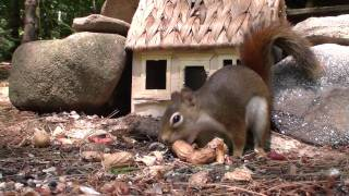 Red Squirrel & Chipmunk - YouTube