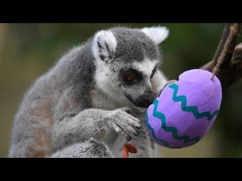 Zootiere in britischen Zoos freuen sich über Ostereier