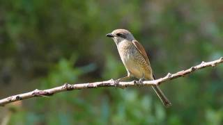 Video Neuntöter - Red-backed Shrike - Lanius collurio MP3, 3GP, MP4, WEBM, AVI, FLV Agustus 2018