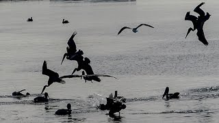 http://bukaymedia.com This slow motion video (40% actual speed) shows brown pelicans break-neck diving into schools of spawning herring in San Francisco Bay at Point Richmond, California. Since making this video, I discovered that during the last fraction of a second before hitting the water, the pelicans rotate UPSIDE DOWN! It is almost impossible to notice this in real time-and even in this video which is 40% of actual speed. The frame-by-frame video of this is shown at https://youtu.be/K_gNZLO0Zx8. Amazing what these birds can do. We almost lost them from the DDT poisoning that put them on the endangered species list for decades.
