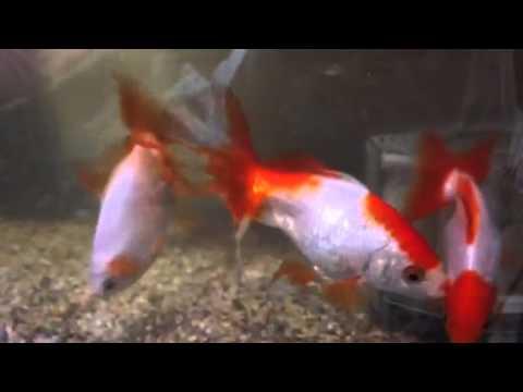 わが家の金魚(地金、東海錦、三州錦)