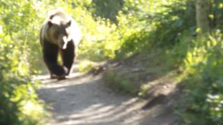 Video Grizzly Bear Encounter Aug 2016 Montana Glacier National Park MP3, 3GP, MP4, WEBM, AVI, FLV Mei 2017