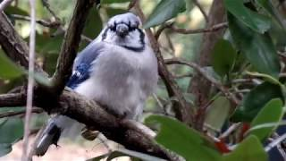 Blue Jay eating a nut
