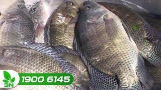 Thủy sản | Cá rô phi bơi ngửa rồi chết, làm sao khắc phục ?