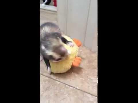 Fuzzy ferret wrestling a stuffed rubber duck dog toy