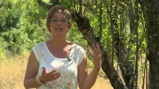 Mandula termesztése és gondozása - Kertbarátok - Kertészeti TV - műsor