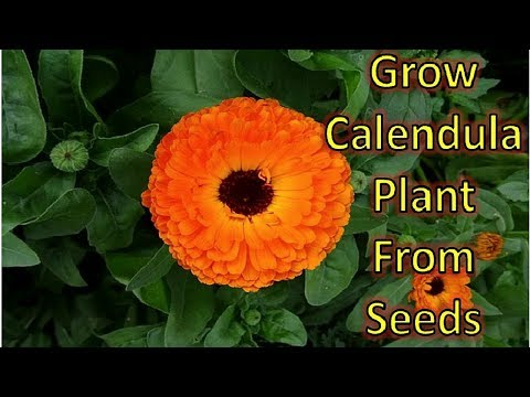 How to grow Calendula from seeds with 100% success – Part 1 (Seed to Seedling)