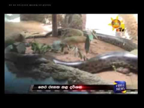 Anaconda eats her partner in Dehiwala