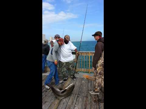 Cobia Slaughter – Pensacola Pier, FL April 2013