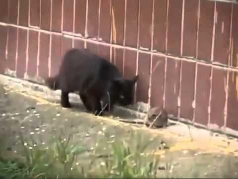 史上最勇敢的老鼠,竟然讓喵星人落荒而逃!