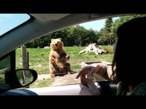 超帥!棕熊親切跟遊客打招呼還單手接殺吐司!