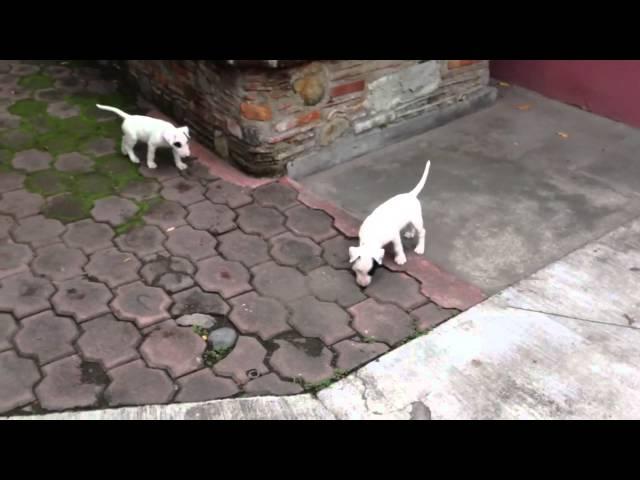 Bull terrier ingles cazando como gato