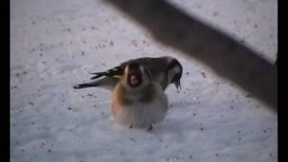 Zimowe szczygły