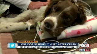 Lost dog seriously hurt after crash