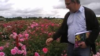 #101 Rosenzüchtung bei David Austin Roses - Fünfter Teil