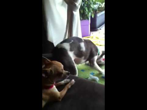 Pit bull playing chihuahua barking