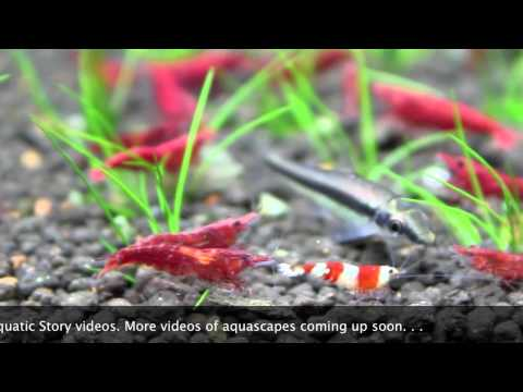 shrimps - Freshwater aquarium housing Red Cherry, Crystal Red & Black shrimps. Hope you enjoy this video. Please visit us at www.aquaticstory.com.