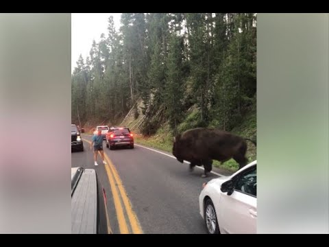Man suspected of taunting bison in Yellowstone arrested