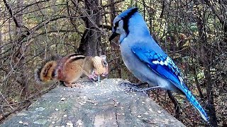 Chipmunk Genius Teaches Blue Jays Lefty-Loosey Righty-Tighty Lesson