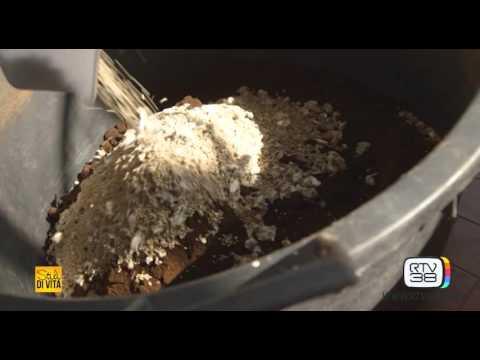 idea di due ragazzi italiani: coltivano funghi dai fondi di caffè!