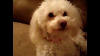 Super Cute Funny Poodle Sophia