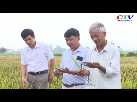 Liên kết sản xuất lúa hữu cơ thảo dược ở Thanh An