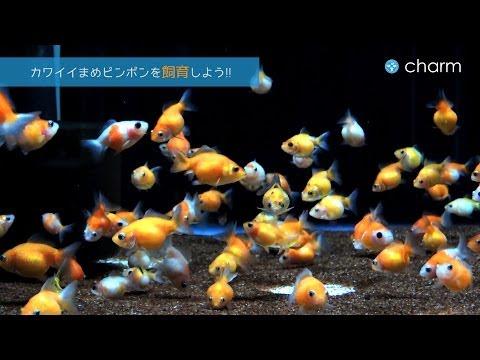【チャーム】 まめピンポンパール人気の金魚水槽