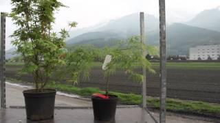 #679 Der Fächerahorn - Acer palmatum