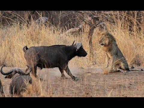 Lion VS Buffalo , Lion Attack Buffalo Fight to Death