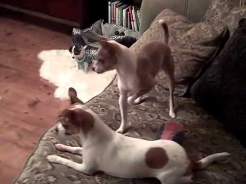 Three Cute Puppies Playing Ball Chihuahua Style!