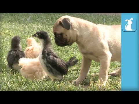pug love chicks!