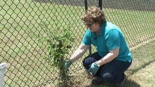 Tipton County Extension Agent Joellen Dimond talks about and plants vines. Vines can be useful as a screen or accent in the garden. There are many choices of ...