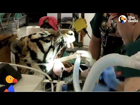 LIVE: Tiger Dentist Gives Rescue Tiger Root Canal at Wild Animal Sanctuary   The Dodo Live_Fogorvosi rendelőben. Heti legjobbak