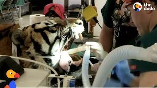 LIVE: Tiger Dentist Gives Rescue Tiger Root Canal at Wild Animal Sanctuary | The Dodo Live by The Dodo