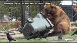Video Grizzly bear attempts to open 'bear-proof' trash can MP3, 3GP, MP4, WEBM, AVI, FLV Agustus 2017