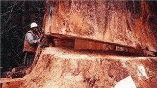 Video Amazing Dangerous Skills Fastest Tree Felling, Heavy Biggest Tree Cutting Down Chainsaw Machines MP3, 3GP, MP4, WEBM, AVI, FLV April 2019