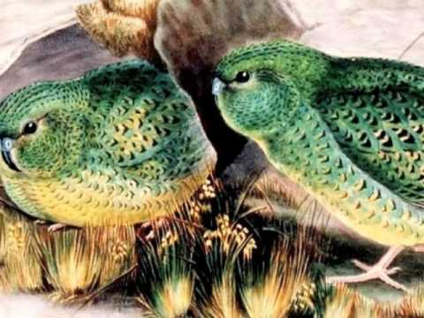 The Night Parrot – Flying back from the brink