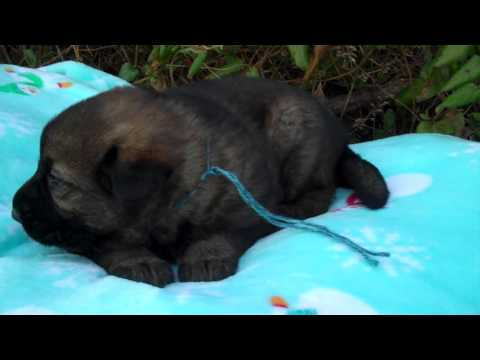Wolverstones Mr. Moonlit Night Black Sable Male Puppy