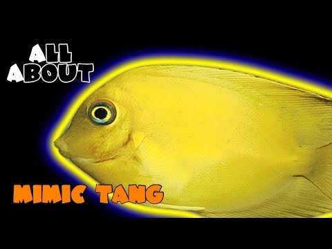 All About The Mimic Tang or Philippine Tang or Mimic Lemon Peel Tang