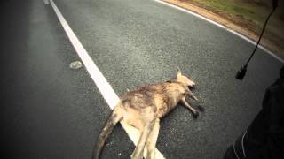Video Hitting a Kangaroo at 109kmph on a motorcycle MP3, 3GP, MP4, WEBM, AVI, FLV Agustus 2017