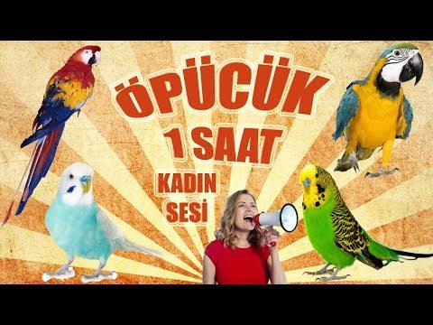 Video muhabbet kuşu ve papağan konuşturma öpücük sesi download in MP3, 3GP, MP4, WEBM, AVI, FLV January 2017