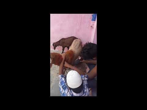 Sheep hair cutting/by Salman Qureshi
