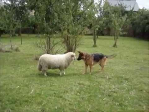 Lammas ja koira leikkivät hippaa pihalla