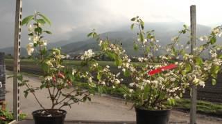#676 Japanischer Etagen-Schneeball - Viburnum plicatum
